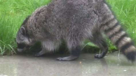 raccoon in backyard raccoon in backyard youtube gogo papa