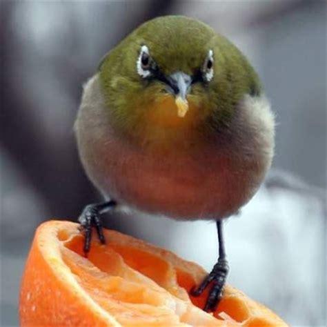 Makanan Burung Pleci Aikguan burungpleci burung pleci idola baru penggemar burung berkicau