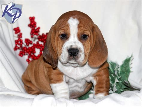 basset hound mix puppies for sale breed bully basset puppies for sale in pa puppies for sale in pa keystone puppies