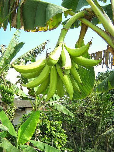 Bibit Pohon Pisang Seribu pokok pisang related keywords pokok pisang