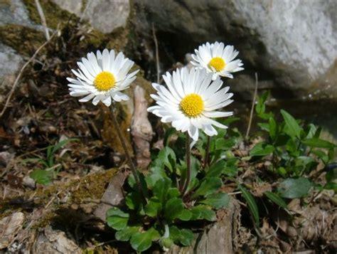 immagini di fiori margherite foto di fiori fotografie di fiori della camapnia