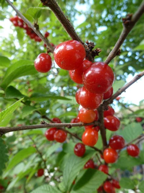 cherry tree strain nanking cherry prunus tomentosa cold hardy fruit tree sold out of stk ebay