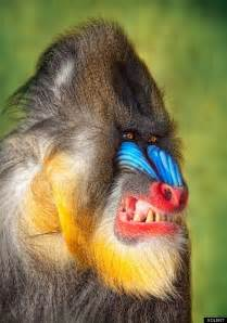 monkey with colorful could this be the angriest looking baboon in the world