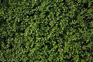 privet hedge texture