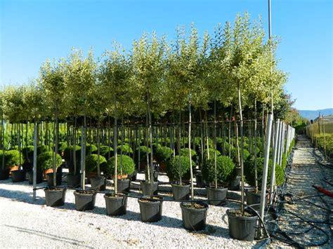 Magnolia Fratelli Andreini P 233 Pini 232 Res Pistoia Toscane Italie