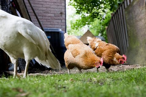 caring for chickens in backyard chickens to be allowed in some toronto backyards the star