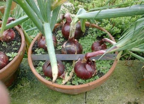 Bibit Bawang Merah Kapur cara menanam bawang merah mediatani