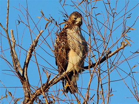 red tailed hawk mobile dfw urban wildlife