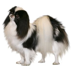 japanese chin all the small breeds