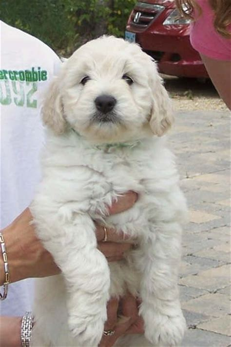 goldendoodle puppy weight gain the 25 best mini goldendoodle ideas on cutest