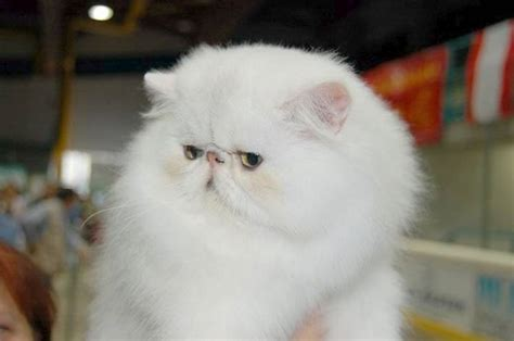 persiani gatti gatto persiano carattere pelo lungo il carattere