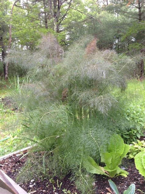 Biji Fennel Adas Easy Grow 51 best ideas about foeniculum on roasted fennel pas grass and florence