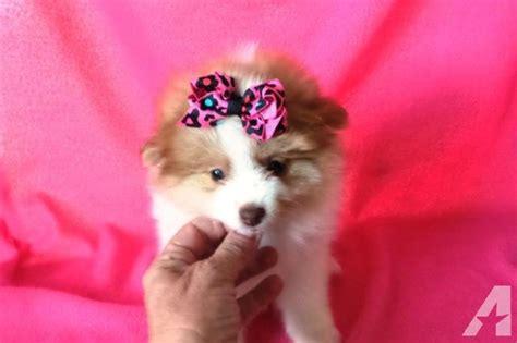 pomeranian puppies for sale in riverside ca beautiful pomeranian puppies for sale in riverside california classified