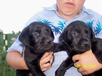 chocolate lab puppies for adoption beautiful chocolate lab puppies for sale adoption from lesterville south dakota