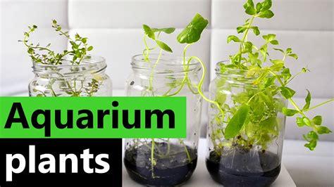 aquarium plants   jar emersed aqua plants youtube