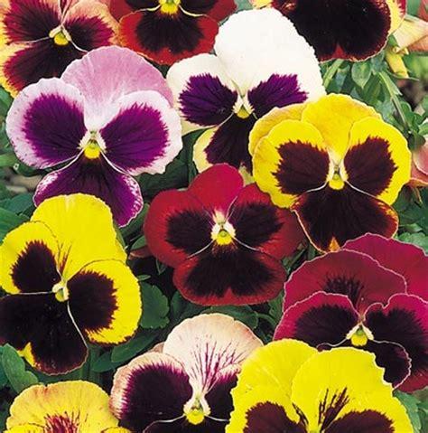 Benih Bunga Viola Jenis 4 bibit bunga pansy swiss