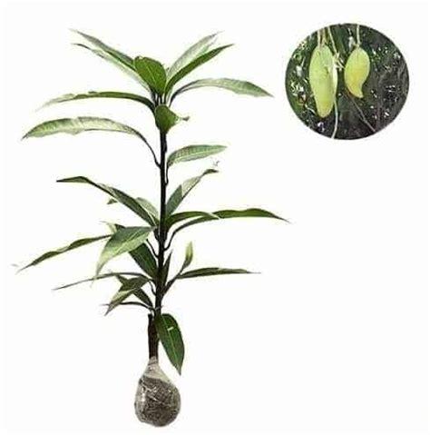 Tanaman Mangga Okyong jual tanaman mangga okyong bibit