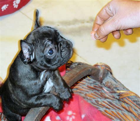 bulldog francese alimentazione quanto deve mangiare un cucciolo di bulldog francese ogni