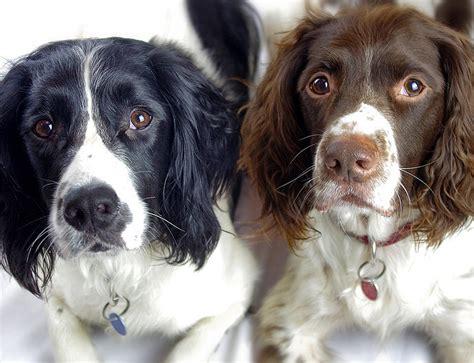 springer spaniel puppies for adoption springer spaniel rescue uk