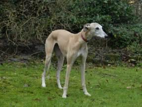 Greyhound Rescue Fawn Greyhound