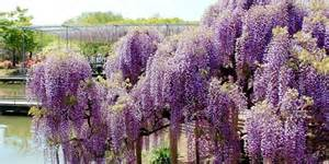 Wisteria crazy plant trend of the day japanese wisteria tunnel