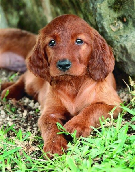 irish setter definition pinterest the world s catalog of ideas