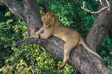 Home Decor Blogs In Tanzania african lion panthera leo on tree lake photograph by