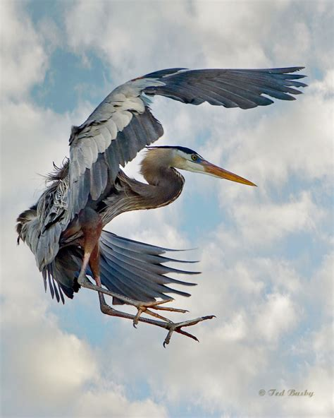 heron meaning 100 heron meaning colors 100 heron meaning cattle egret