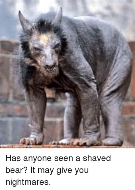 Hairless Bear Meme - shaved bear meme 28 images hairless bear best 25