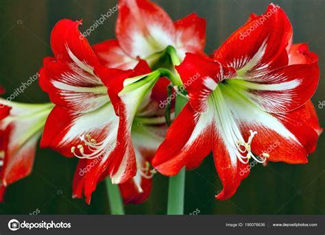 fiori di colore due fiori di colore rosso amaryllis foto stock