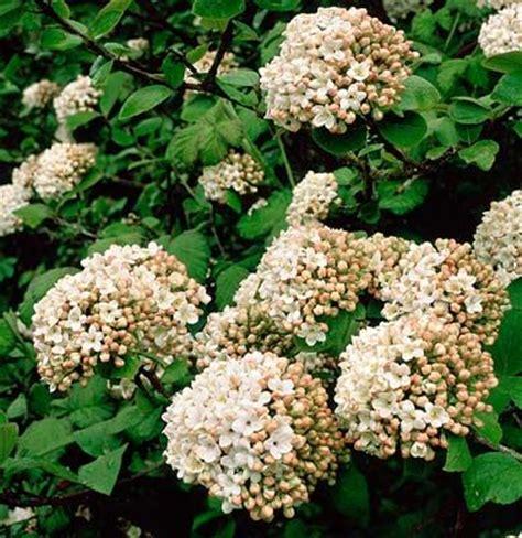 early pink flowering shrubs 195 best fantastic flowering shrubs images on