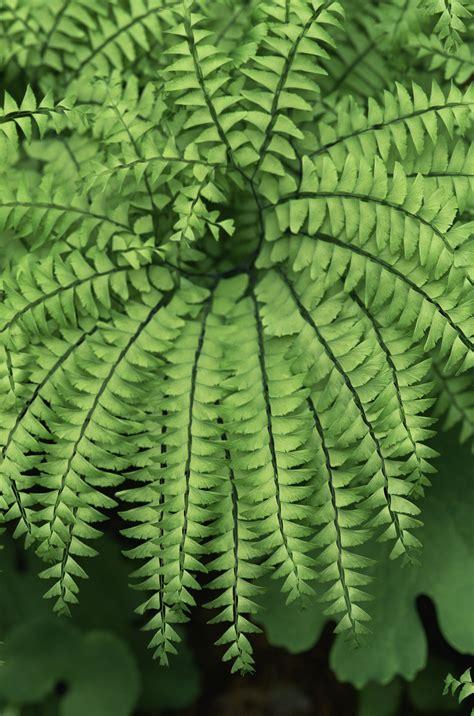 tips  growing maidenhair adiantum ferns  home