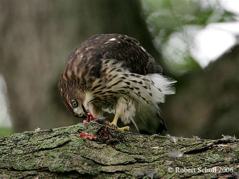 coopers hawk eating