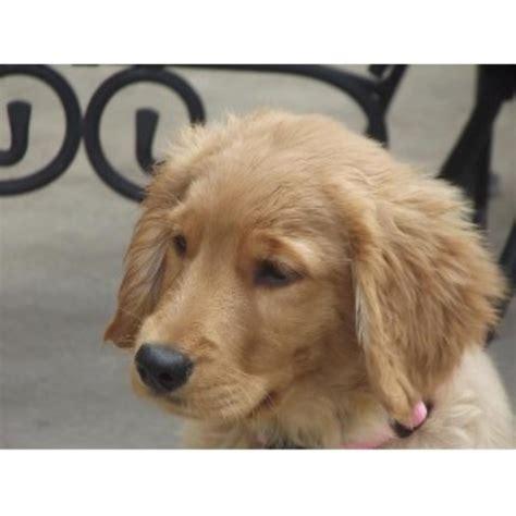 free puppies in oregon broken top golden retrievers golden retriever stud in redmond oregon listing id 22051