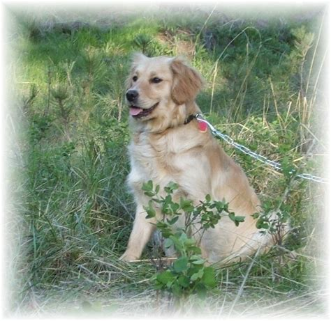 golden retriever puppies for sale in new york golden retriever puppies for sale in new york golden