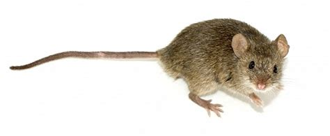 toyota s soy based electric wiring attracts rodents and