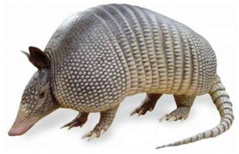le tatou armadillo dasypus animaux animal le blog