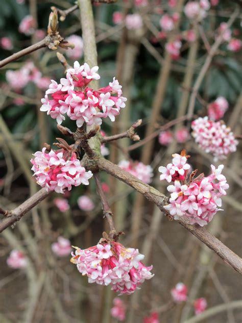 early pink flowering shrubs viburnum 215 bodnantense dawn viburnum a complete