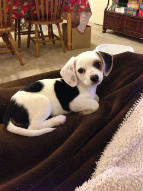 chihuahua yorkie beagle mix 20 adorable mixed breed dogs you ve probably never heard of weknowmemes