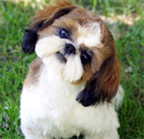 junique shih tzu prairie view puppies shih tzu breeders and information