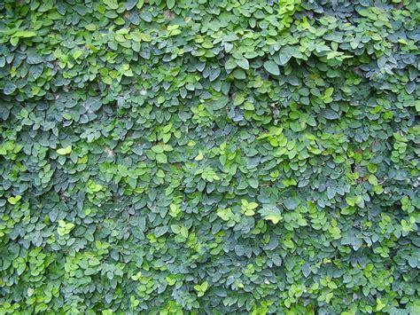 Daun Rambat Merambat Artificial Leaf Leaves Climbing Garland 3 file ficus pumila jpg