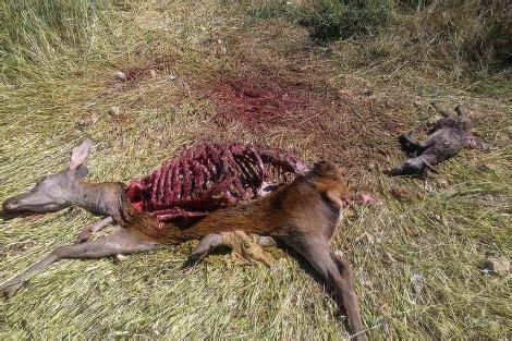 imagenes venados navideños dos cazadores denunciados por abatir y despiezar dos