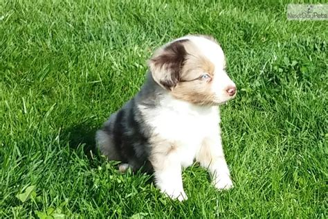 australian shepherd puppies for sale ny teddy miniature australian shepherd puppy for sale near rochester new york