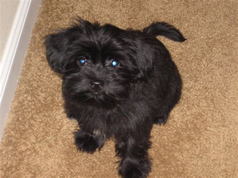 what is a shorkie puppy shorkie pics photograph adopted shorkie puppies