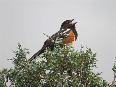 birding colorado springs blodgett peak open space and
