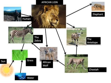cheetah food chain diagram cheetah food chain facts food