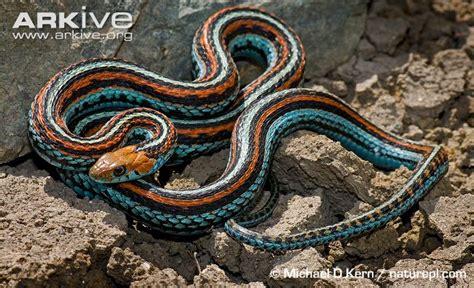 Garter Snake Oklahoma Common Garter Snake Photo Thamnophis Sirtalis G84617