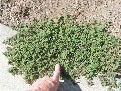 how to cut weeds in backyard weeds in lawn prostrate spurge prostratesurge lawnweeds