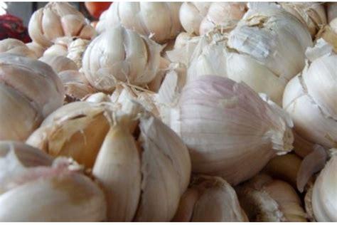 Benih Bawang Putih benih bawang putih pertani siapkan lahan 1 365 hektare