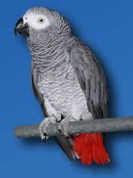 pappagallo cenerino alimentazione pappagallo cenerino domestico pappagalli domestici